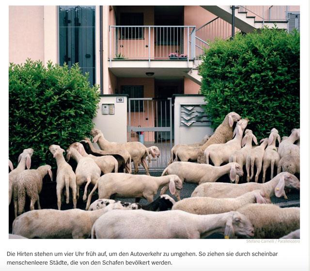 Almauftrieb in der Lombardei | Schafe, uberall Schafe 3