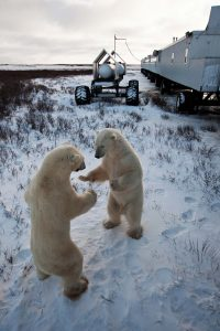CHURCHILL, THE WORLD CAPITAL OF POLAR BEARS 1