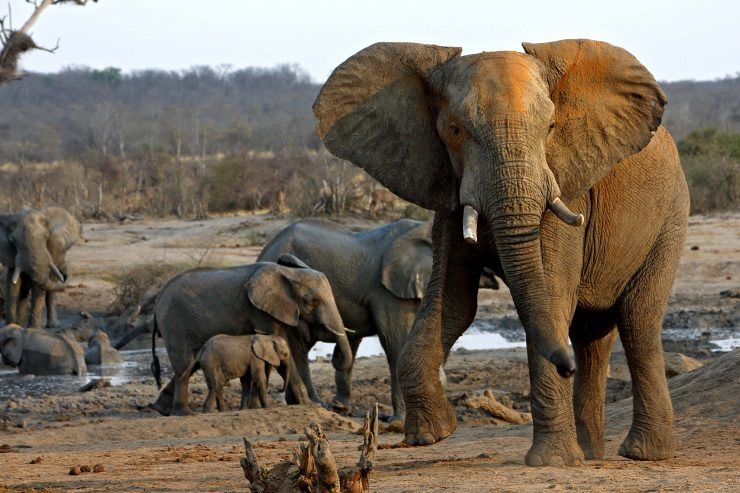 A Sad Future for Elephants?